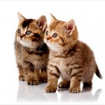 Exotic Persian Kittens , 8 Cool Teacup Persian Cats For Sale In Cat Category