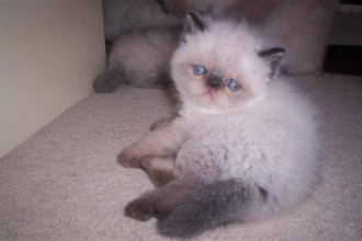 Exotic Persian Short , 7 Cool Short Haired Persian Cats For Sale In Cat Category
