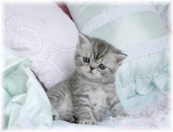 Cat , 8 Good Short Haired Persian Cat : Exotic Short Hair Persians