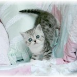 Exotic Short Hair Persians , 8 Good Short Haired Persian Cat In Cat Category