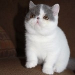 Exotic Shorthair Cats , 7 Cute Persian Shorthair Cat In Cat Category