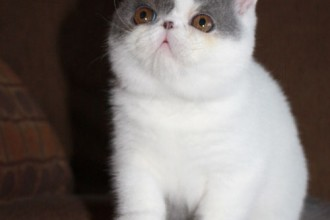 Exotic Shorthair Cats in Dog