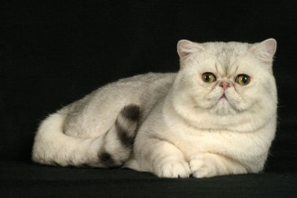 Exotic Shorthair Cats in Laboratory