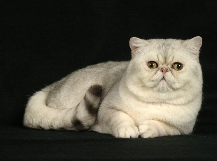 Cat , 7 Nice Exotic Shorthair Persian Cat : Exotic Shorthair Cats