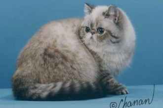 Exotic Shorthair Cats , 4 Good Persian Cat Personality Traits In Cat Category