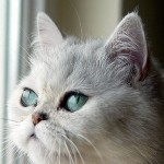 Exotic Shorthair Persians , 7 Cute Persian Shorthair Cat In Cat Category