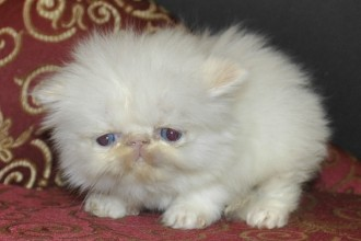 Flame Point Himalayan Kittens , 5 Charming Persian Cats For Sale In Miami In Cat Category