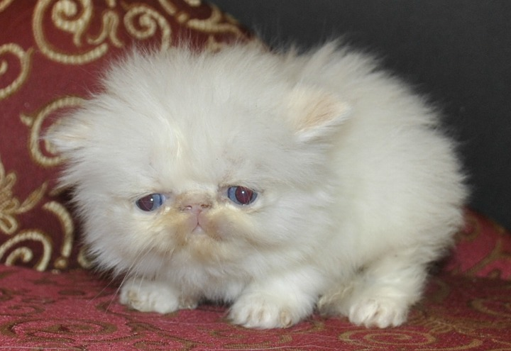 Cat , 5 Charming Persian Cats For Sale In Miami : Flame Point Himalayan Kittens