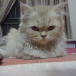 Girl Pet Names , 6 Charming Persian Cat Names Female In Cat Category