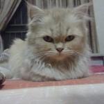 Girl Pet Names , 6 Charming Persian Cat Names Female In Cat Category