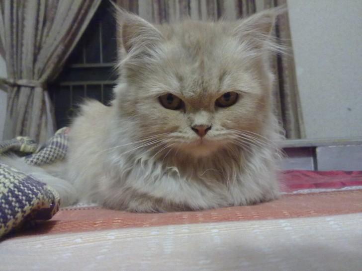 Cat , 6 Charming Persian Cat Names Female : Girl Pet Names