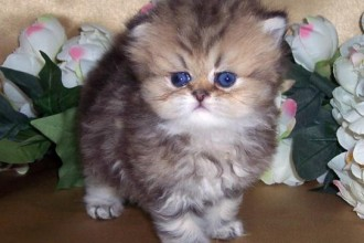 Golden Classic Tabby , 7 Awesome Teacup Persian Cat In Cat Category