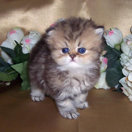 Cat , 7 Awesome Teacup Persian Cat : Golden Classic Tabby