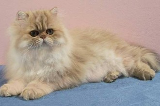 Golden Persian Picture , 9 Nice Persian Cat Eye Care In Cat Category