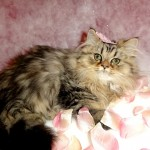 Golden Shaded Female , 5 Charming Persian Cats For Sale In Miami In Cat Category