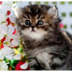 Golden Teacup Persian Kitten , 8 Cool Tea Cup Persian Cats In Cat Category