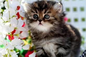 Golden Teacup Persian Kitten , 8 Cool Tea Cup Persian Cats In Cat Category