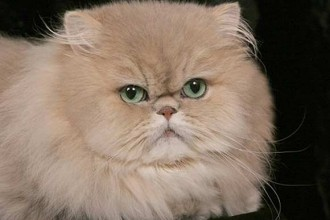 Golden Persian Cat , 8 Charming Persian Cat Facts In Cat Category