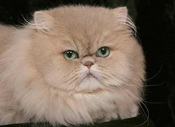 Cat , 5 Stunning Breeding Persian Cats : Golden Persian Cat