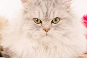 Gorgeous Persian Kitten  , 9 Fabulous Persian Cats And Allergies In Cat Category