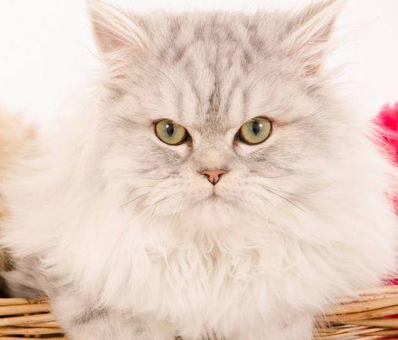 Cat , 9 Fabulous Persian Cats And Allergies : Gorgeous Persian Kitten
