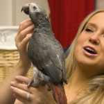 Grey parrot prices , 8 Nice African Grey Parrot Price In Birds Category