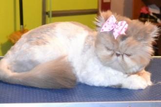 Grooming Cat , 8 Cute Grooming A Persian Cat In Cat Category