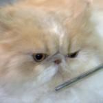 Grooming Persian , 8 Cute Grooming A Persian Cat In Cat Category