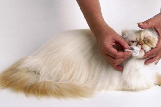 Grooming Persian Cats , 8 Cute Grooming A Persian Cat In Cat Category