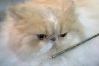 Grooming a Persian in Mammalia