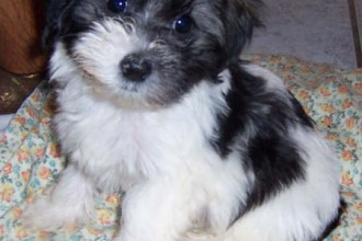 Havanese Dog Breed Puppies , 7 Cute Yuppy Puppy Havanese In Dog Category