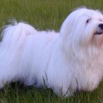 Havanese Dogs , 7 Cute Yuppy Puppy Havanese In Dog Category