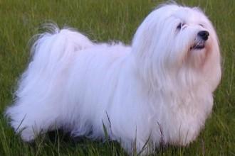 Havanese Dogs , 7 Cute Yuppy Puppy Havanese In Dog Category