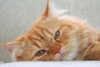 Healthy Pets , 9 Cute Persian Cat Health Issues In Cat Category
