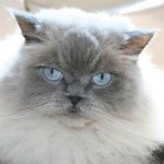 Himalayan cat allergies