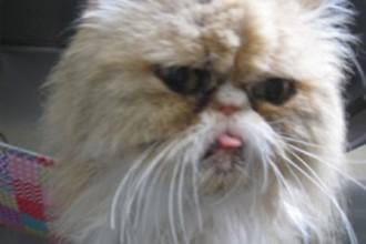 Himalayan Cat , 9 Cute Persian Himalayan Cat Rescue In Cat Category
