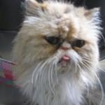 Himalayan Cat , 8 Cute Persian Cat Behavior In Cat Category