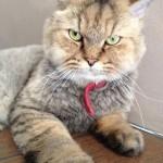 Himalayan Cat , 7 Cool Persian Cat Haircuts In Cat Category