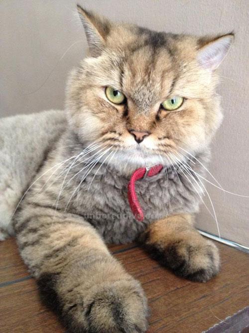 Cat , 7 Cool Persian Cat Haircuts : Himalayan Cat
