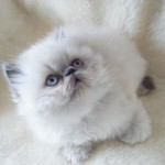 Himalayan Colour , 9 Cute Persian Himalayan Cat Rescue In Cat Category