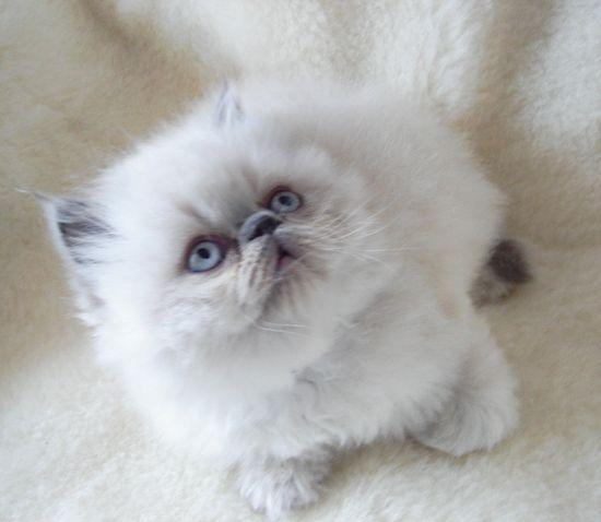 Cat , 6 Lovely Himalayan Persian Cats For Sale : Himalayan Colour