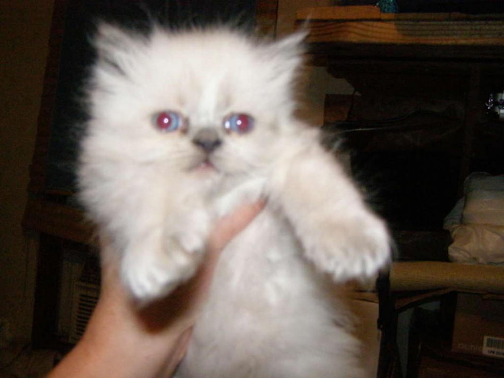 Himalayan Persian Kittens 9 Cute Persian Himalayan Cat Rescue