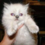 Himalayan Persian Kittens , 9 Cute Persian Himalayan Cat Rescue In Cat Category