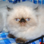 Himalayan Persian , 6 Lovely Himalayan Persian Cats For Sale In Cat Category