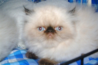 Himalayan Persian in Human