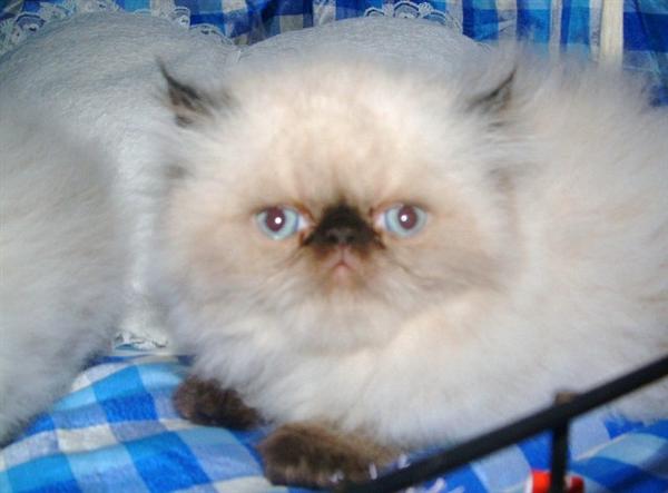 Cat , 6 Lovely Himalayan Persian Cats For Sale : Himalayan Persian