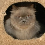 Himalayan Rescue , 8 Cool Persian And Himalayan Cat Rescue In Cat Category