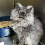 Himalayan Rescue , 8 Fabulous Persian Cat Rescue Seattle In Cat Category
