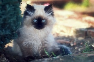 Himalayan Kitten , 7 Charming Facts About Persian Cats In Cat Category