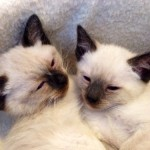 Hypoallergenic Old Style Balinese kittens , 9 Cute Persian Cats Hypoallergenic In Cat Category